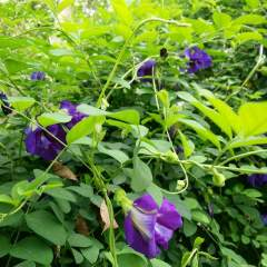 Anshan Blüten Tee - Anbau und Ernte, Clitoria Ternatea